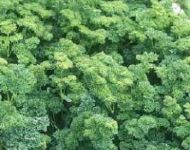 phoca thumb l curly parsley