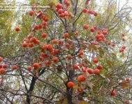 phoca thumb l japanese persimmon tree